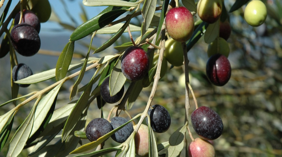 Ciao Olive bucine