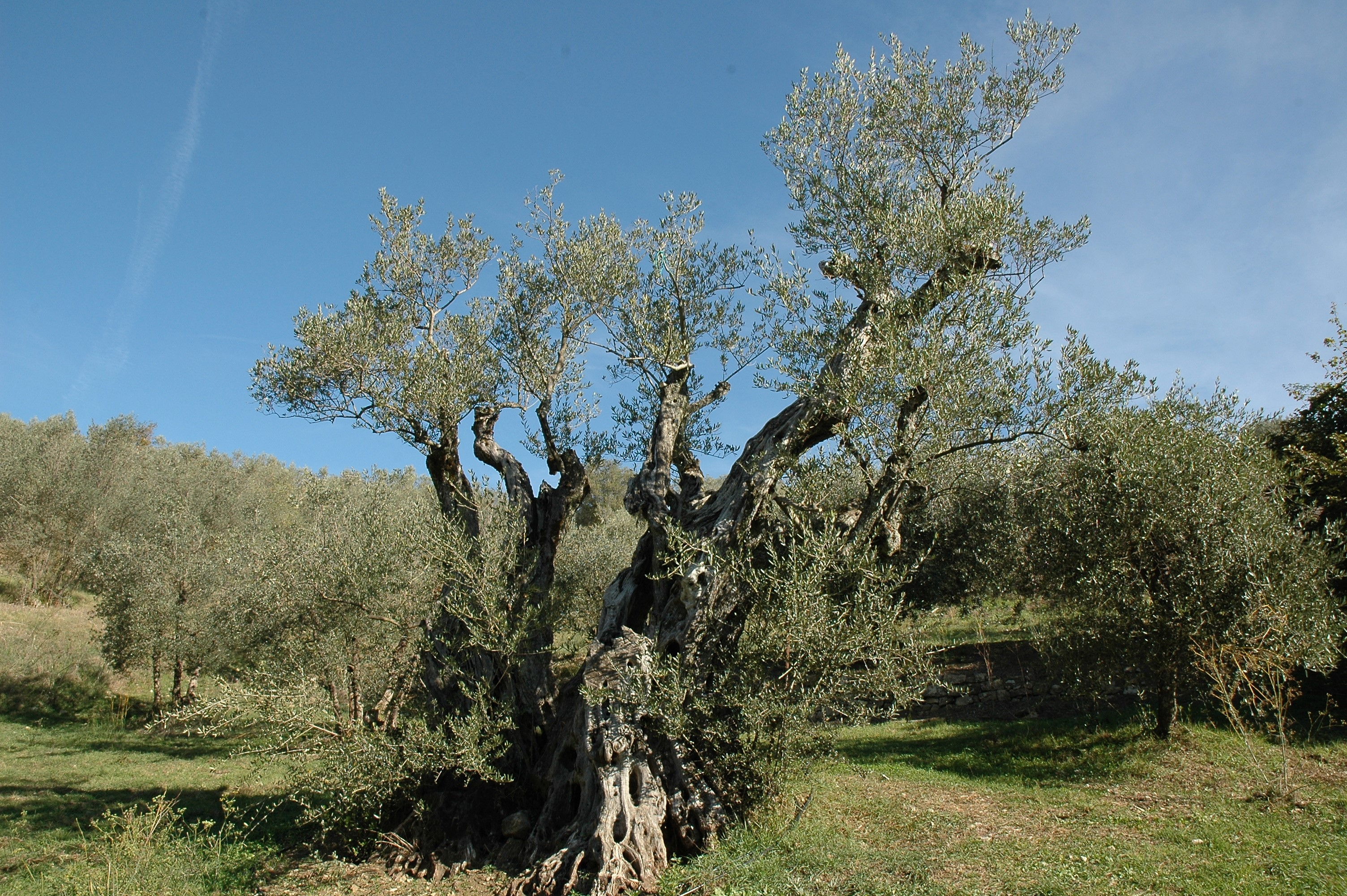 Albero secolare di olivo in oliveto, cielo azzurro